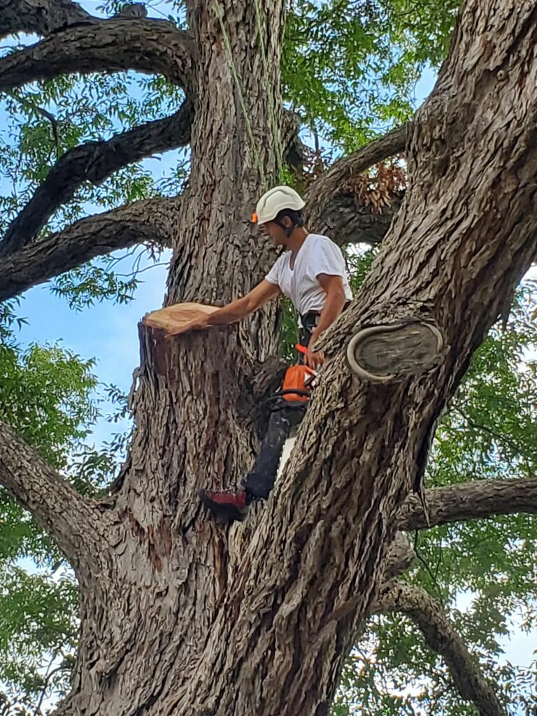Certified Arborist removing branches